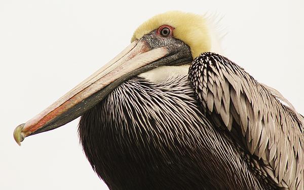 Pelican Photograph - Pretty Pelican by Paulette Thomas