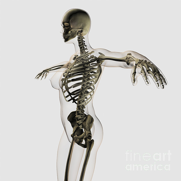 Skeleton Digital Art - Three Dimensional View Of Female by Stocktrek Images