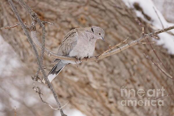 Eurasian Collard Dove Photograph - Euarsian Collard Dove by Lori Tordsen