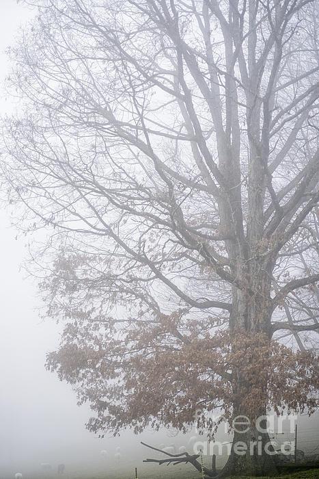 White Oak Photograph - White Oak Tree In Fog by Thomas R Fletcher