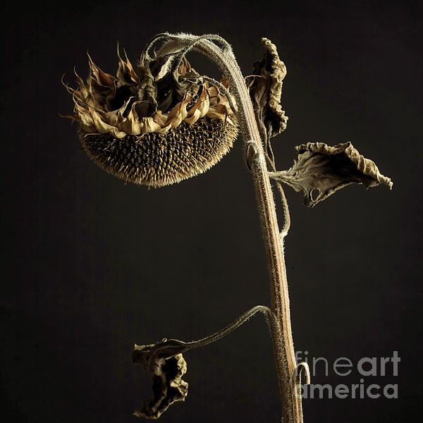 Cut Out Photograph - Sunflower by Bernard Jaubert