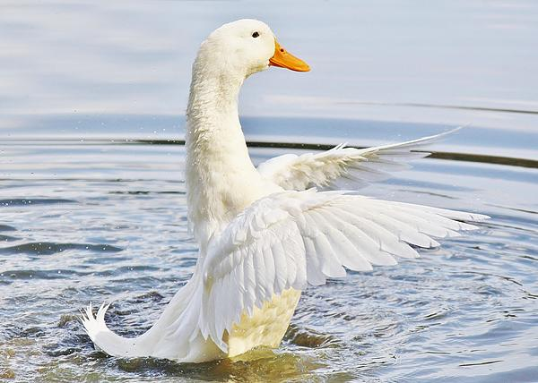 Duck Photograph - Wings by Paulette Thomas