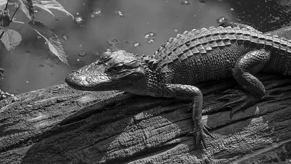 Alligators Photograph - Untitled by Bill Martin