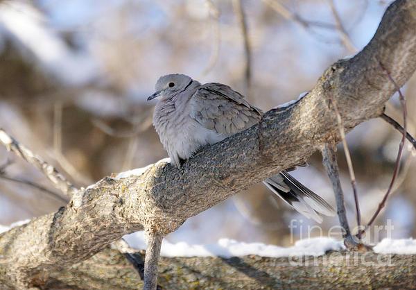 Doves Photograph - Euarsian Collard Dove by Lori Tordsen