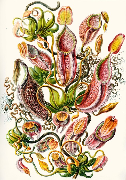 Vertical Drawing - A Collection Of Nepenthaceae by Ernst Haeckel