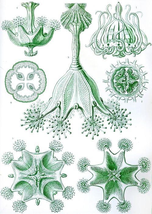 Vertical Drawing - A Collection Of Stauromedusae by Ernst Haeckel