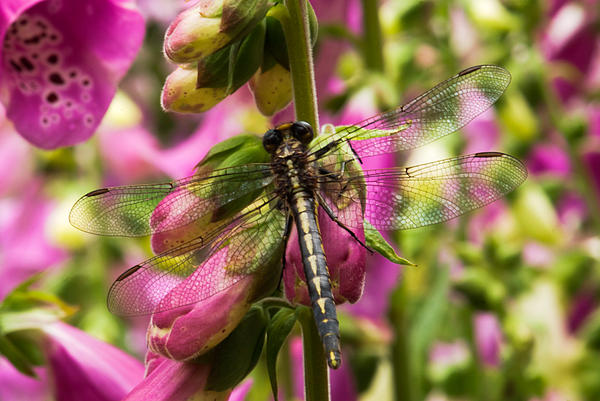 Behavior Photograph - A Dragon Fly Resting In A Forest Of Foxgloves by Thomas Pettengill
