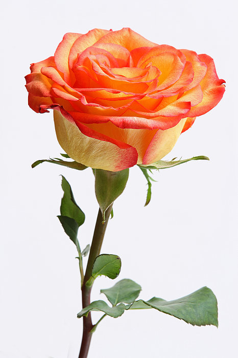 Rose Photograph - A Rose Is A Rose Is A Rose by Juergen Roth