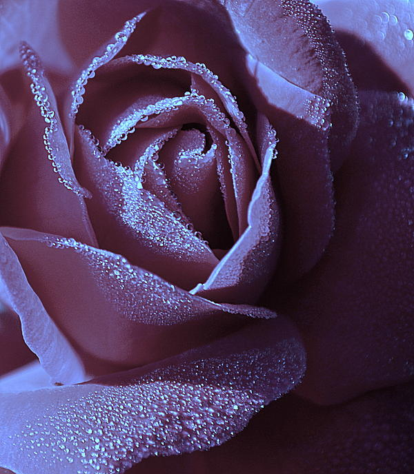 Rose Photograph - A Rose That Glitters by Michelle Ayn Potter