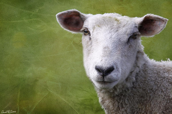 Sheep Photograph - A Sheep by David Simons