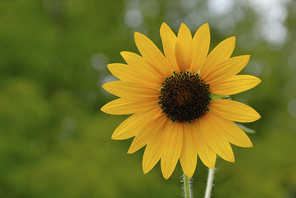 a single sunflower photograph by charles beeler, Beautiful flower