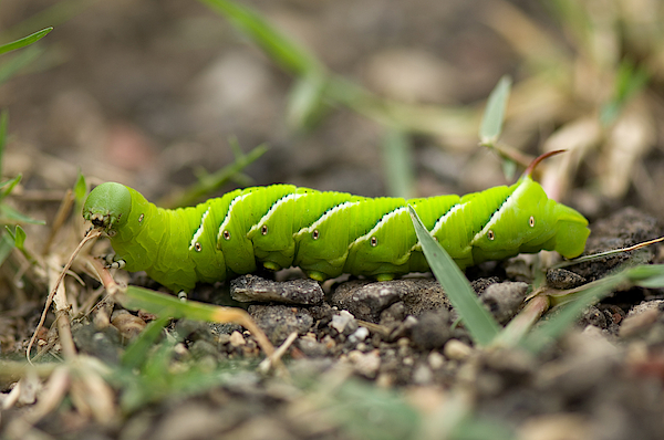 A Tomato Horned Worms Green Color Stands Out Against The Ground. Photograph by Joel Sartore