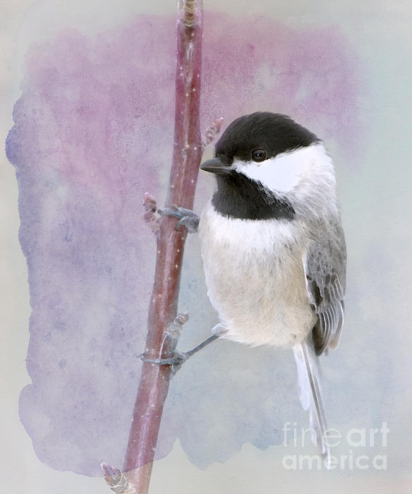 Black-capped Chickadee Photograph - A Twinkle In My Eye by Betty LaRue