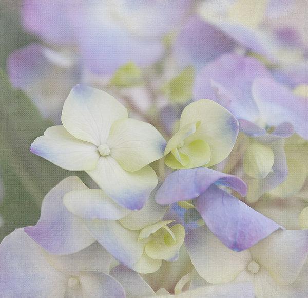 Hydrangea Photograph - A Whisper by Kim Hojnacki
