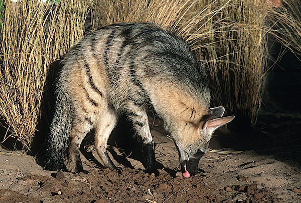 Aardwolf (proteles Cristatus) Hunting, Side View, Africa Photograph by Martin Harvey