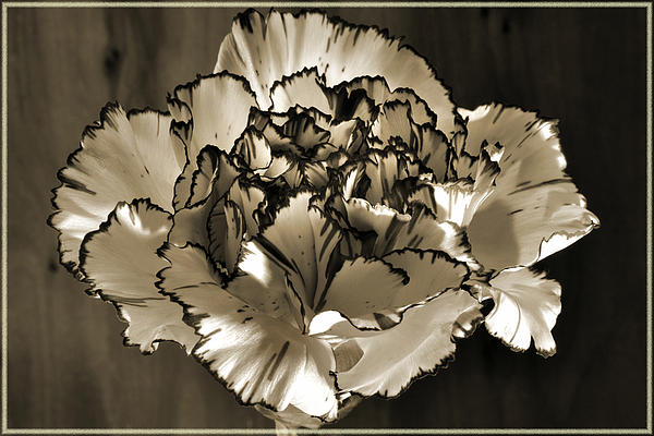 Carnations Photograph - Abstract Carnation by Terence Davis