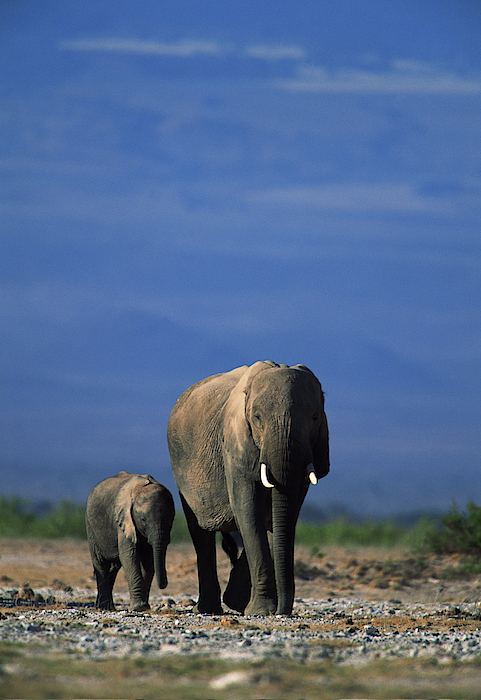 African Elephant With Offspring , Kenya , Africa Photograph by Comstock Images