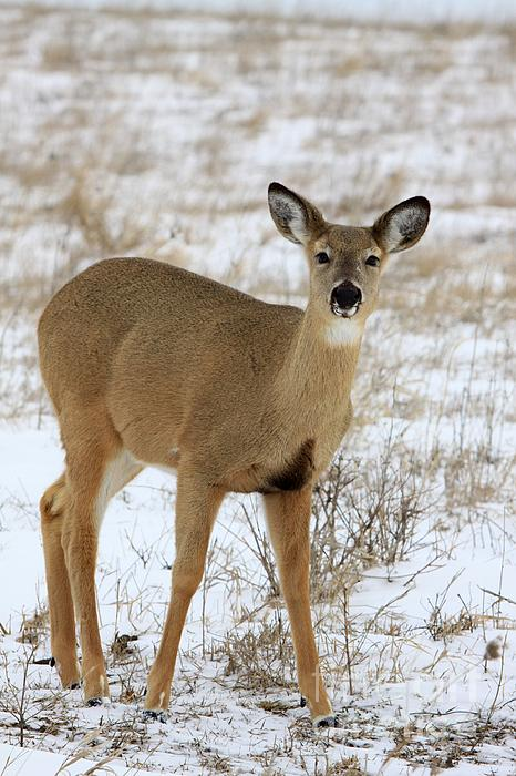 Deer Photograph - Alert by Rick Rauzi