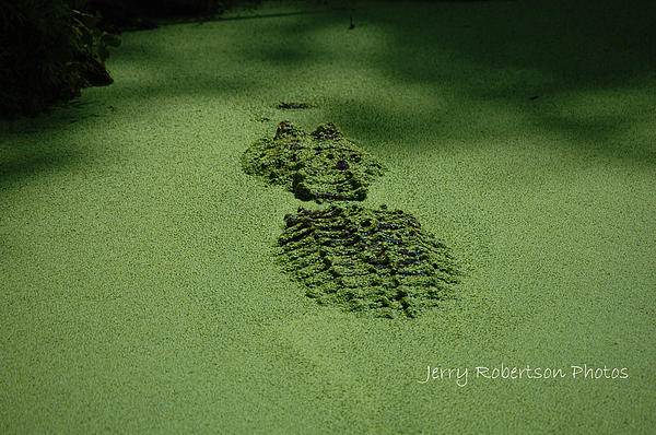 Alligator Photograph - Algaegator..... by Jerry Robertson