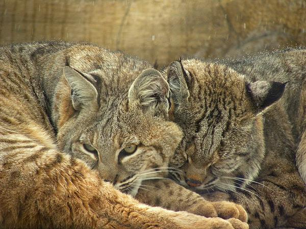 Bobcats Photograph - Always Watching by Teresa Schomig