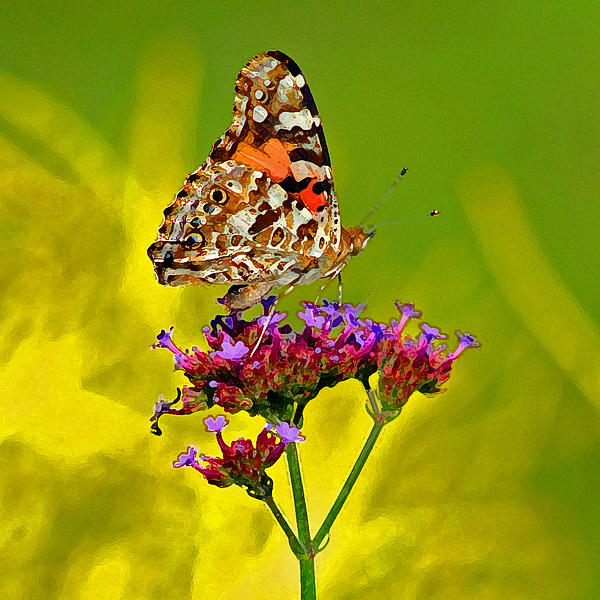 Butterfly Photograph - American Painted Lady Butterfly by Karen Adams