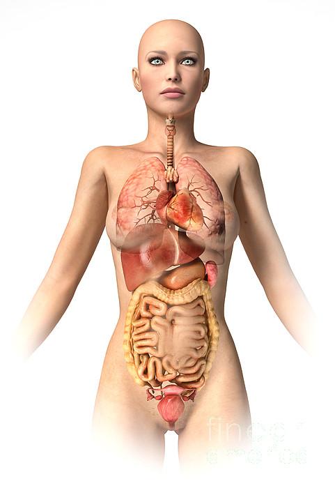 Stomach Digital Art - Anatomy Of Female Body With Internal by Leonello Calvetti