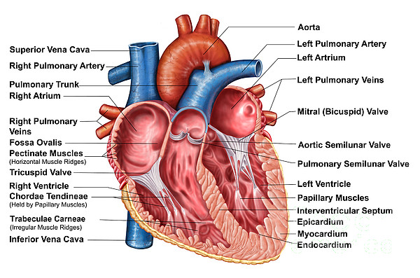 Healthcare Digital Art - Anatomy Of Heart Interior, Frontal by Stocktrek Images