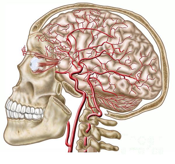 Healthcare Digital Art - Anatomy Of Human Skull, Eyeball by Stocktrek Images