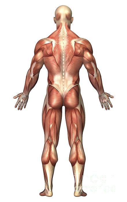 Vertical Digital Art - Anatomy Of Male Muscular System, Back by Stocktrek Images