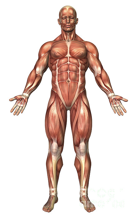 Vertical Digital Art - Anatomy Of Male Muscular System, Front by Stocktrek Images