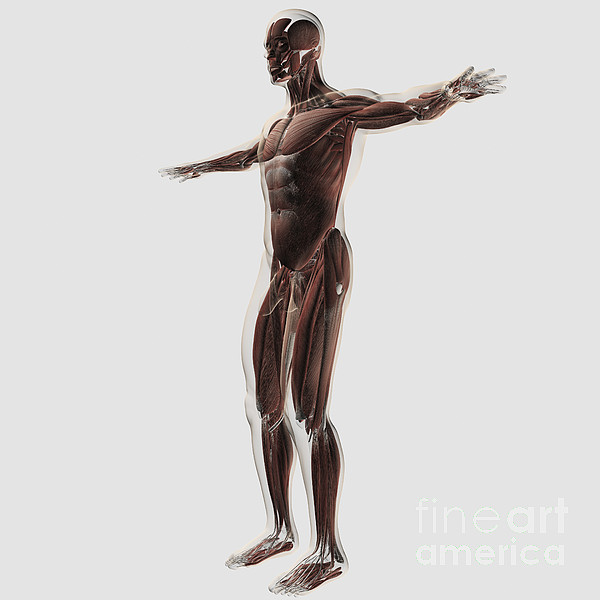 White Background Digital Art - Anatomy Of Male Muscular System, Side by Stocktrek Images