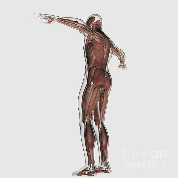 White Background Digital Art - Anatomy Of Male Muscular System by Stocktrek Images