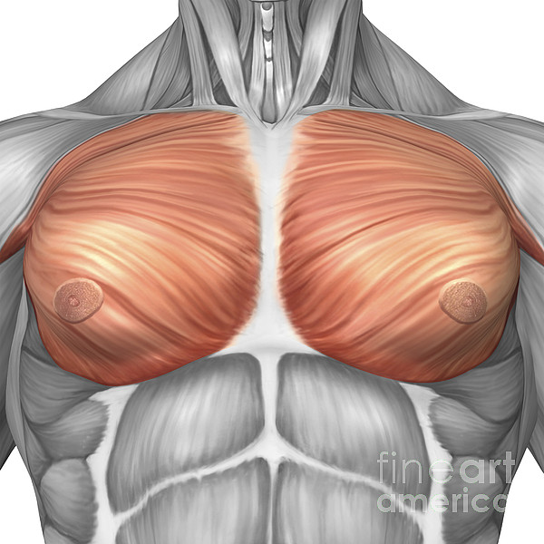 Square Image Digital Art - Anatomy Of Male Pectoral Muscles by Stocktrek Images