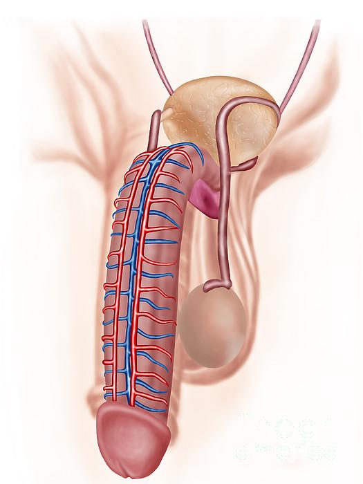 Healthcare Digital Art - Anatomy Of Male Reproductive Organs by Stocktrek Images