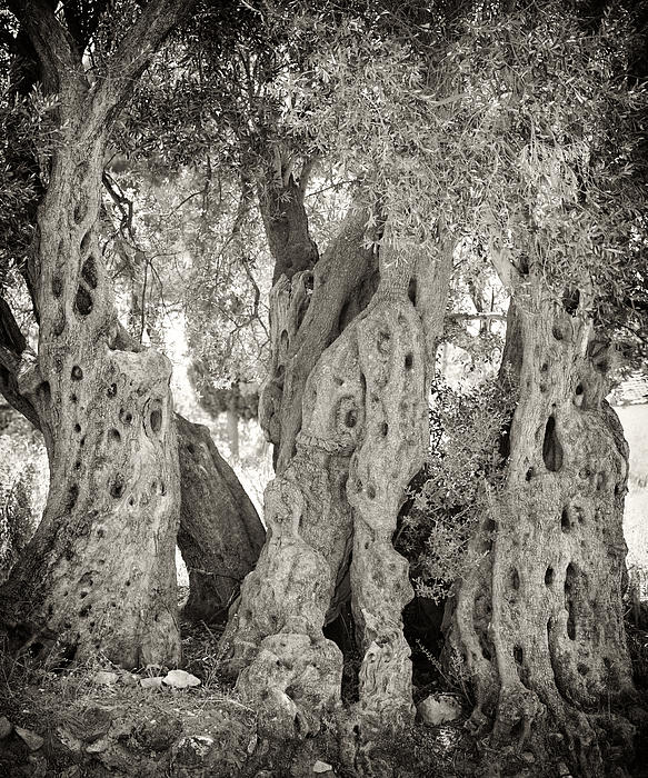 Tree Photograph - Ancient Olive by Paul Cowan