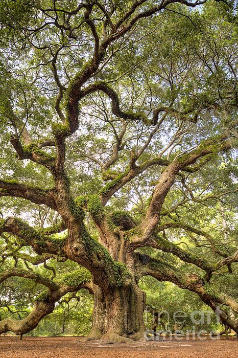 Angel Oak Tree Photograph - Angel Oak Tree Johns Island Sc by Dustin K Ryan