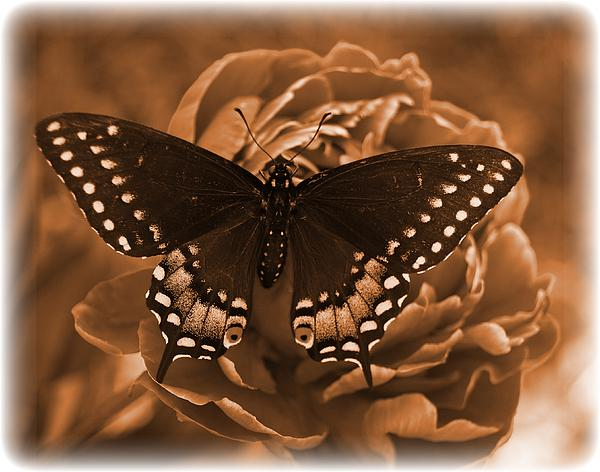 Antique Photograph - Antique Butterfly by Diane Reed