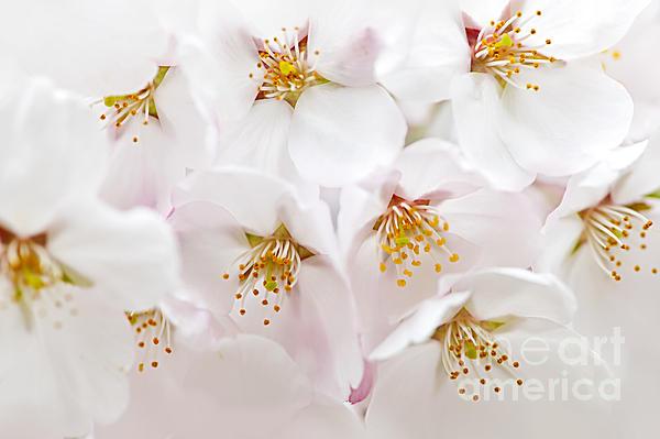 Apple Blossoms Photograph - Apple Blossoms by Elena Elisseeva