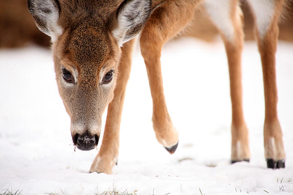 Deer Photograph - Approaching by Karol Livote