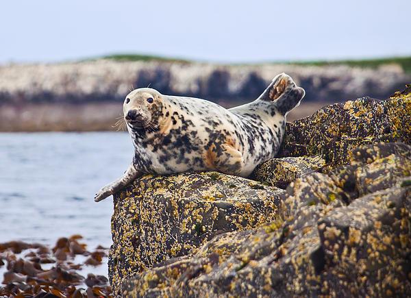 Seal Photograph - Atlantic Grey Seal Halichoerus Grypus by Liz Leyden