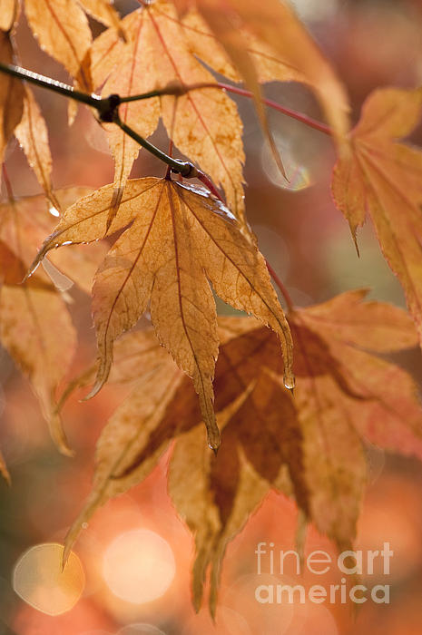 Acer Photograph - Autumn Acer by Anne Gilbert