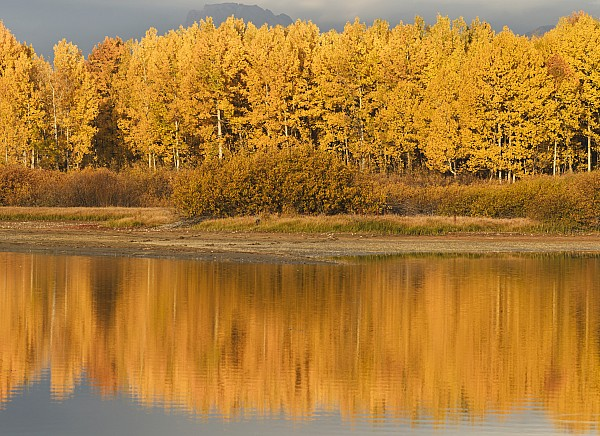 Populus Tremuloides Photograph - Autumn Aspens Reflected In Snake River by David Ponton
