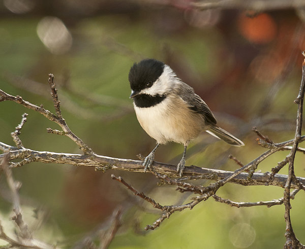 Carolina Chickadee Photograph - Autumn Colors Chickadee by Lara Ellis