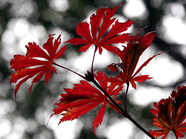 Red Photograph - Autumn Leaves by JianGang Wang