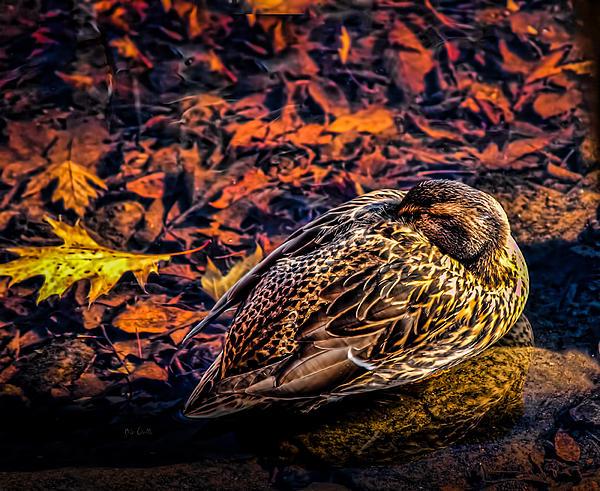 Mallard Photograph - Autumns Sleepy Duck by Bob Orsillo