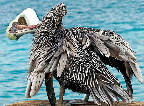 Animal Photograph - Awkward Pelican by Jean Noren