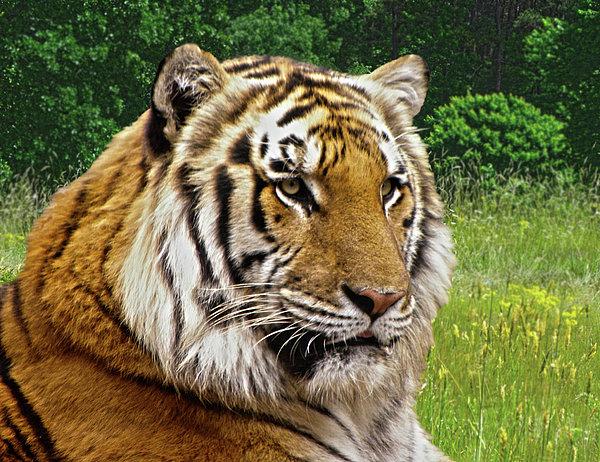 Tiger Photograph - Axls Portrait by Sandi OReilly
