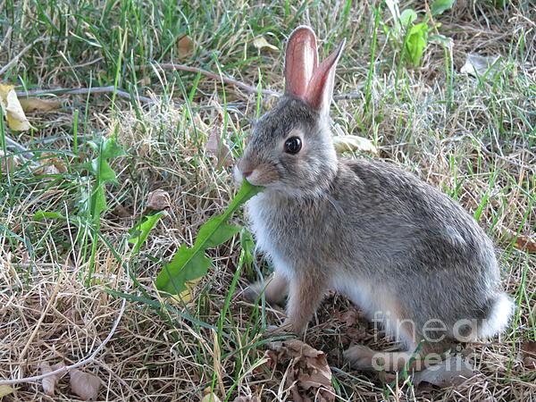 Baby Bunny Photograph - Baby Bunny Eating Dandelion #01 by Ausra Huntington nee Paulauskaite