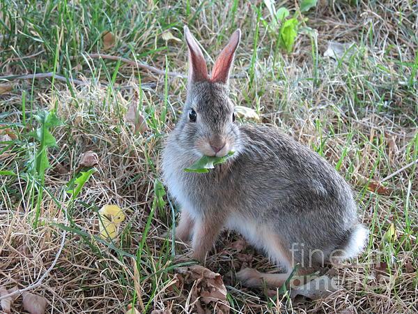 Nature Photograph - Baby Bunny Eating Dandelion #02 by Ausra Huntington nee Paulauskaite