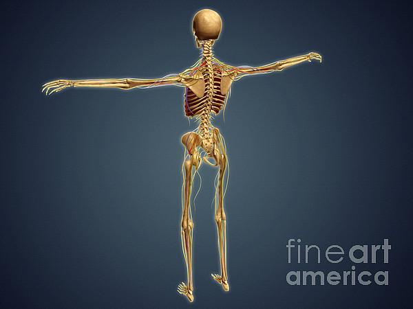 Biomedical Illustrations Digital Art - Back View Of Human Skeleton by Stocktrek Images